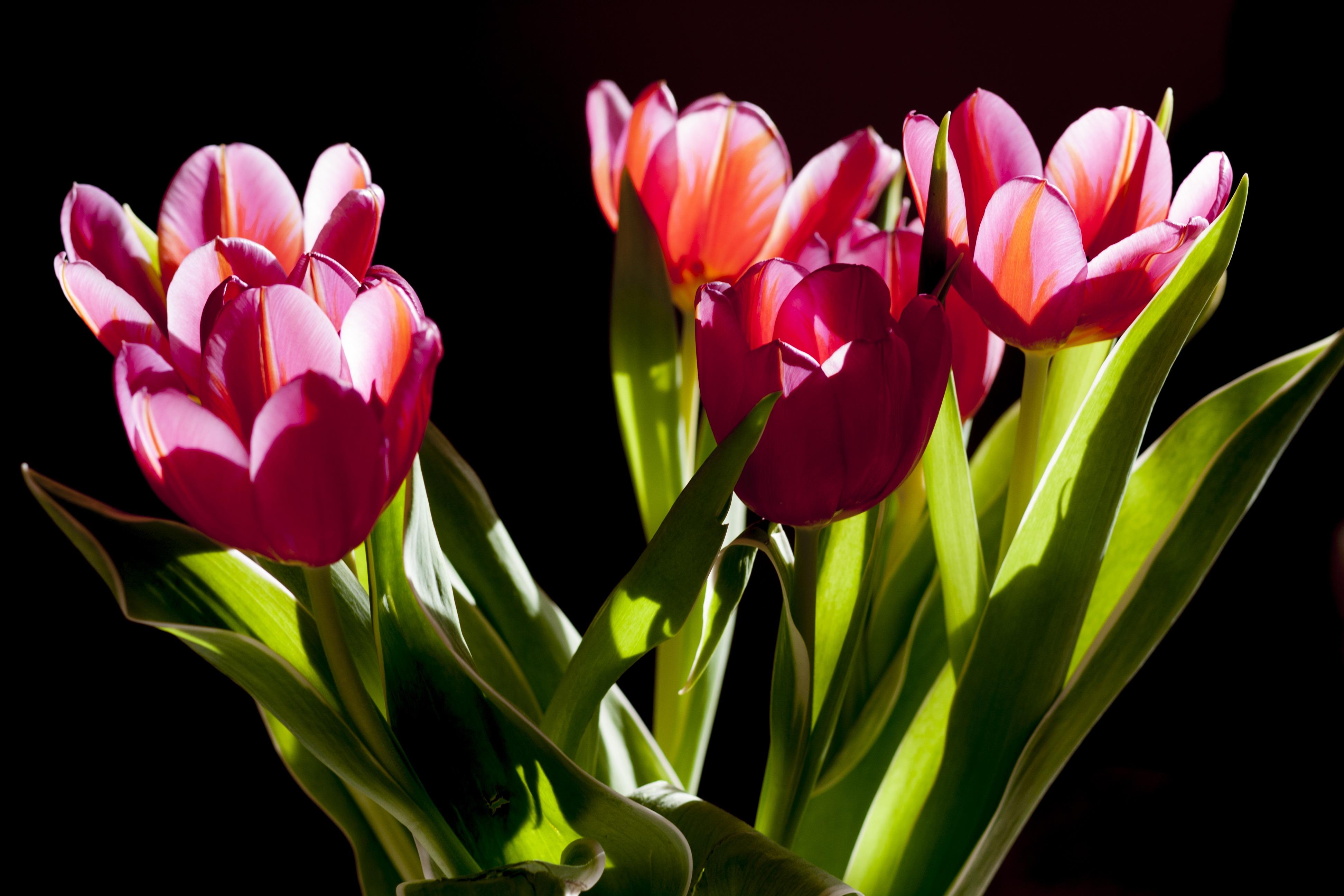 tulips-flowers-plant-beauty-59987